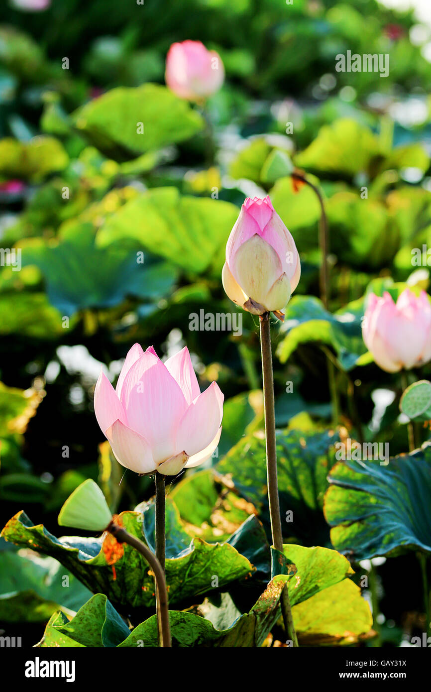 Lotus flower wallpaper stock photos lotus flower wallpaper stock pink and green budding lotus flowers background stock image mightylinksfo