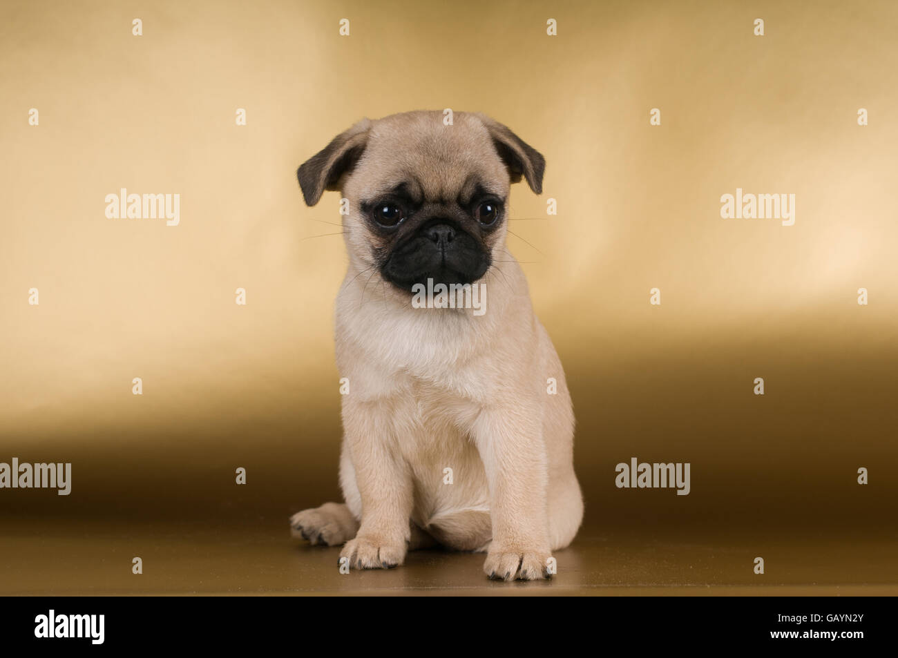 Pug puppy on golden background - Stock Image
