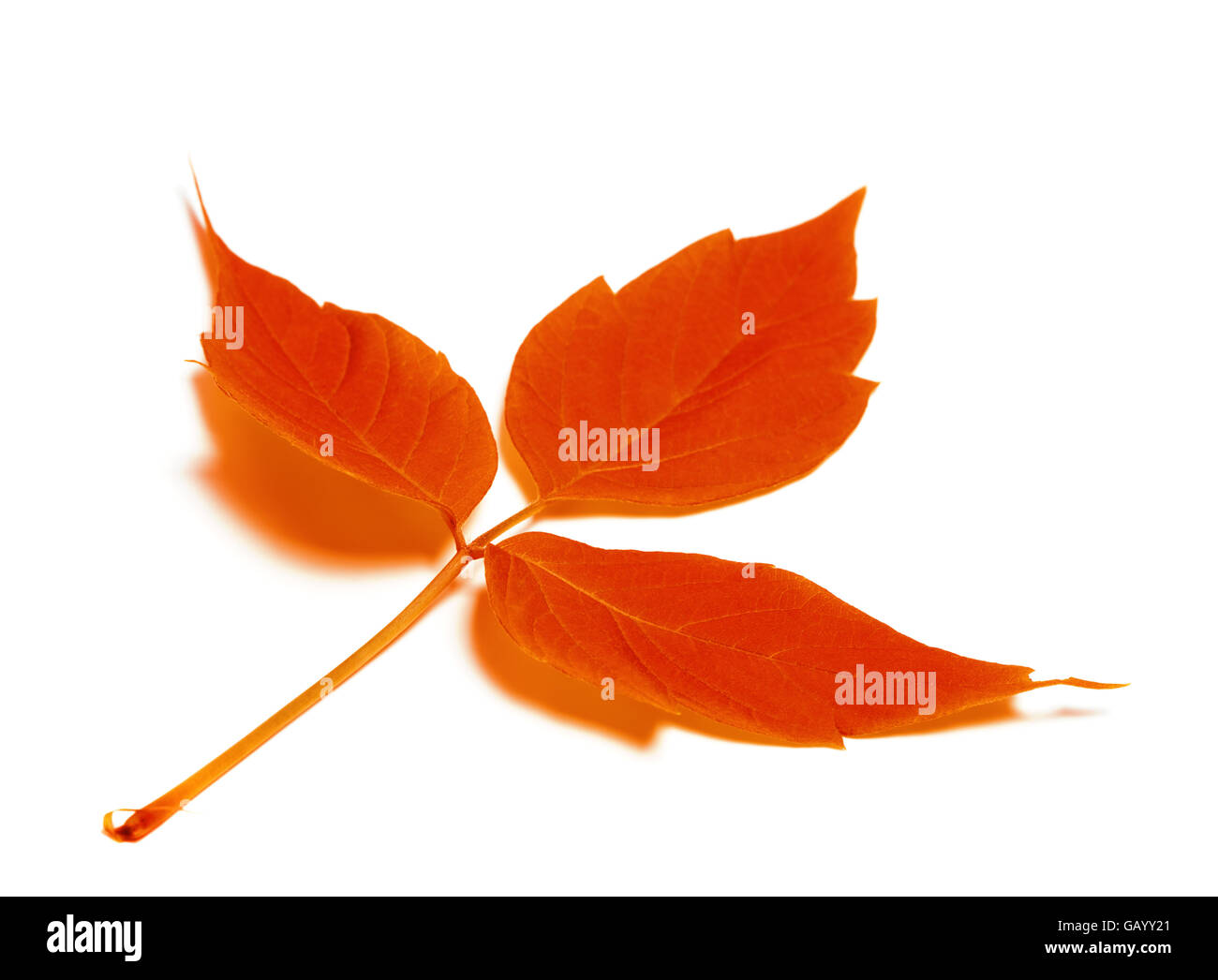 Red autumn leaf. Isolated on white background. Selective focus. Stock Photo