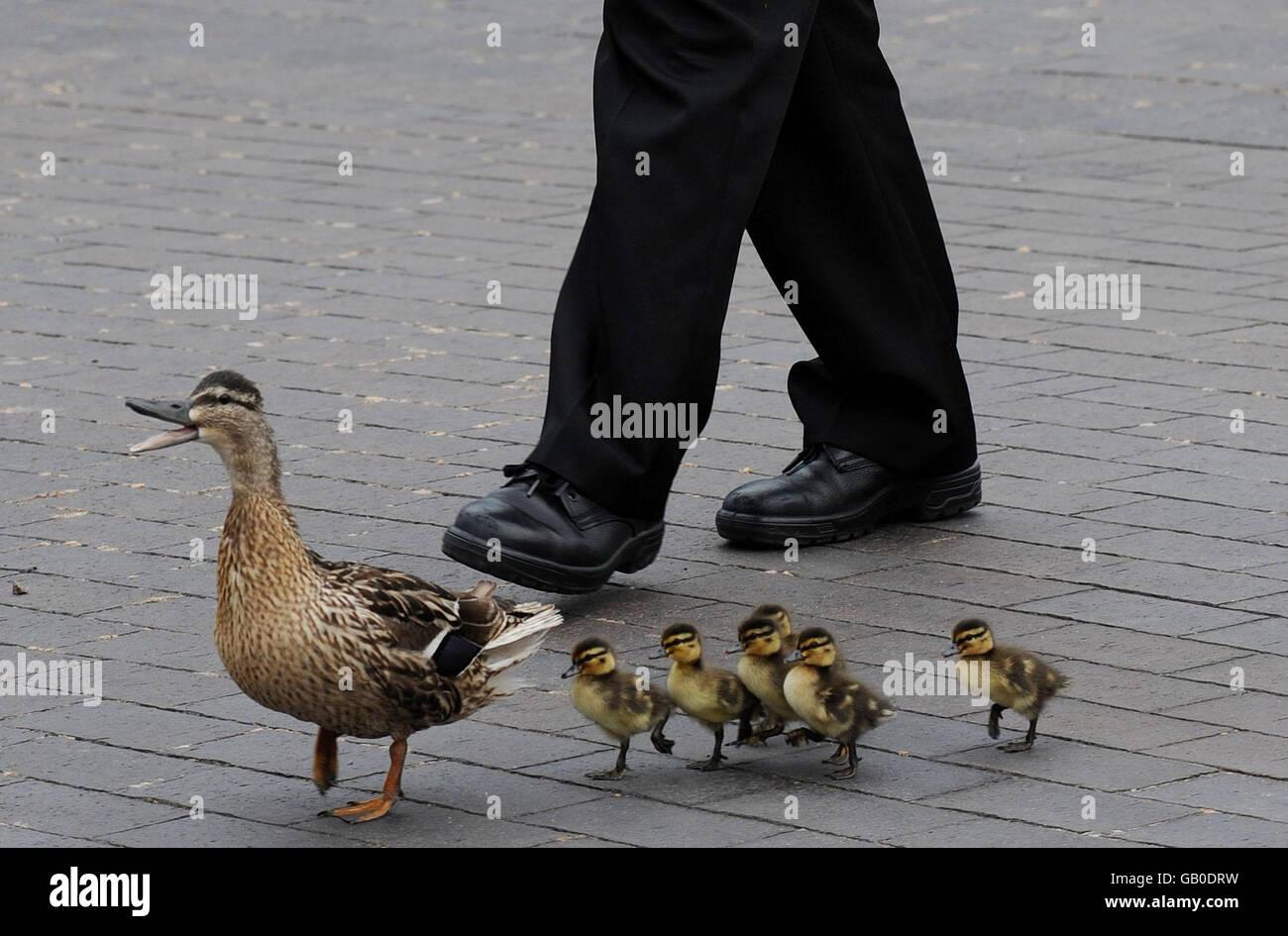 Duck and ducklings in Teeside - Stock Image