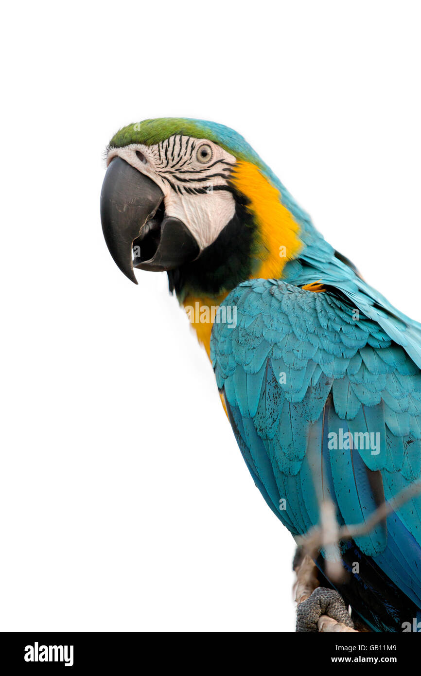 parrot macaw - Stock Image