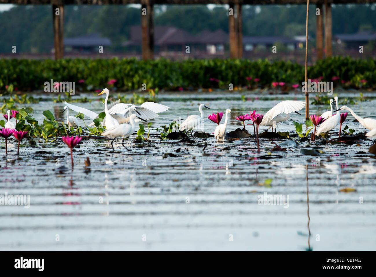 Flocks of Egret on the lake Thale Noi, Phatthalung, Thailand. - Stock Image