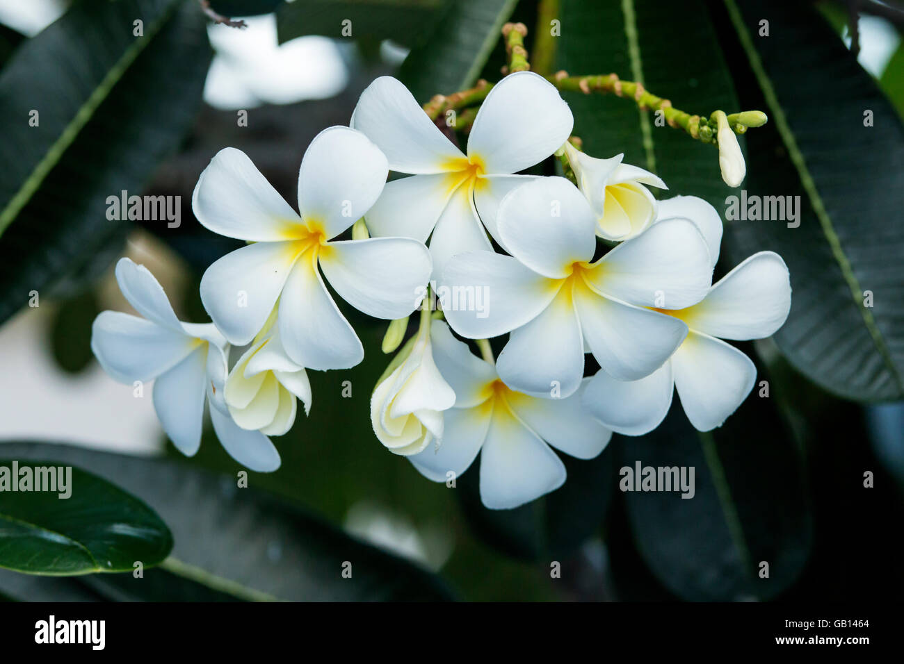 group of yellow white flowers (Frangipani, Plumeria) on tree