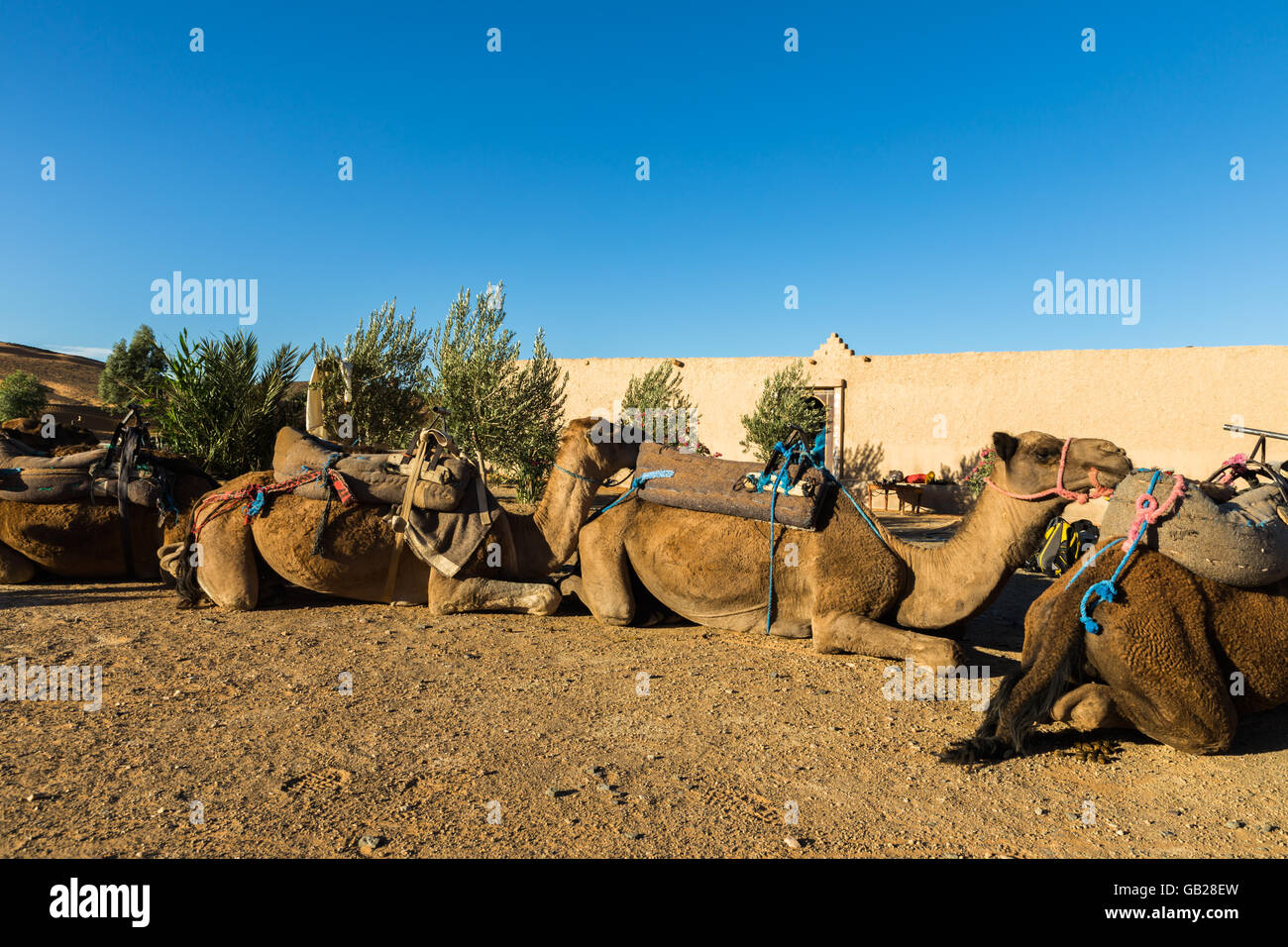 camels in the camp of the Berbers - Stock Image