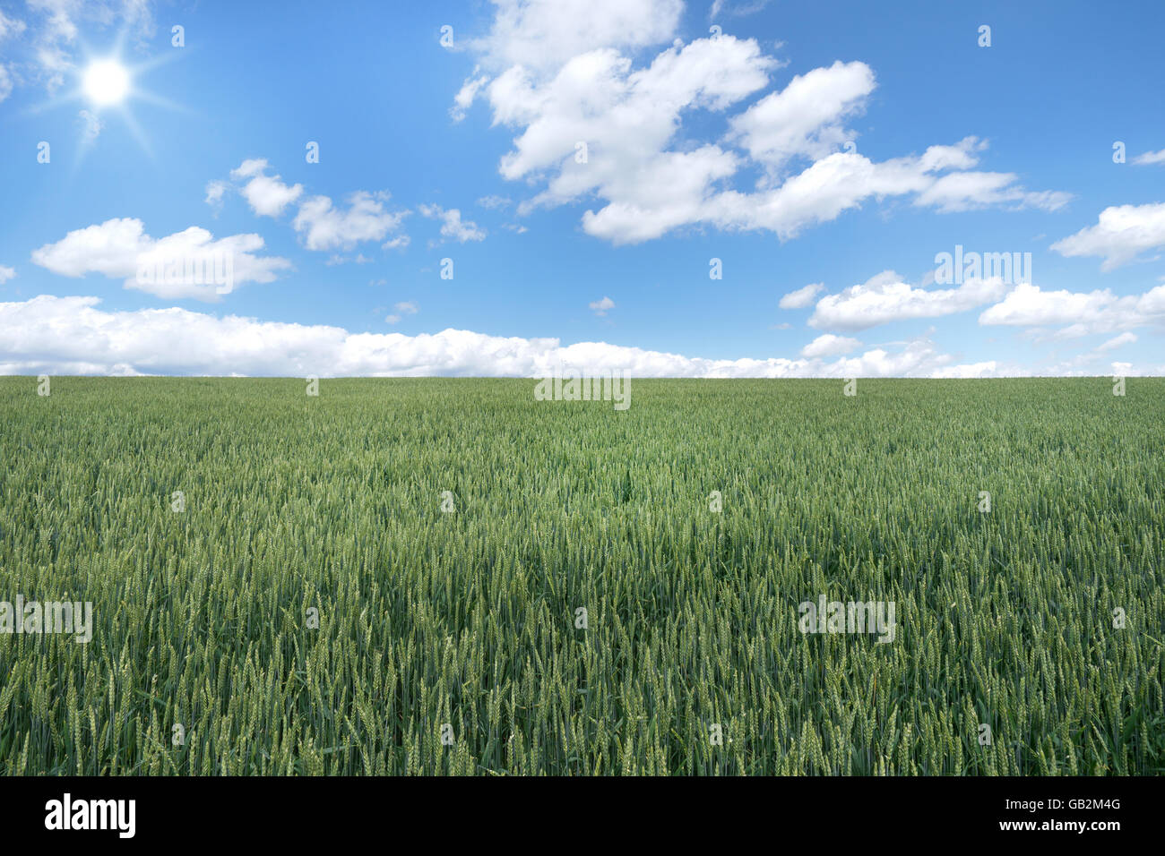Large green wheat field - Stock Image