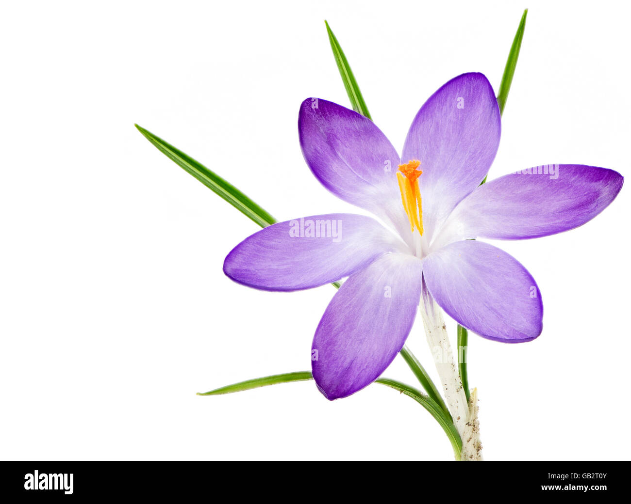 Macro of an isolated purple crocus flower blossom Stock Photo
