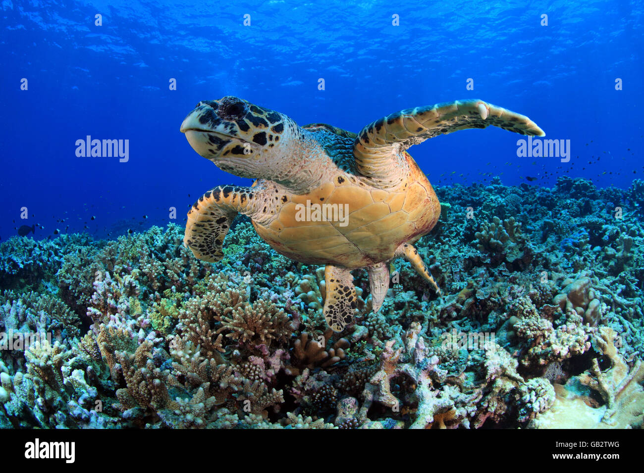 Hawksbill sea turtle in the blue water of the ocean - Stock Image