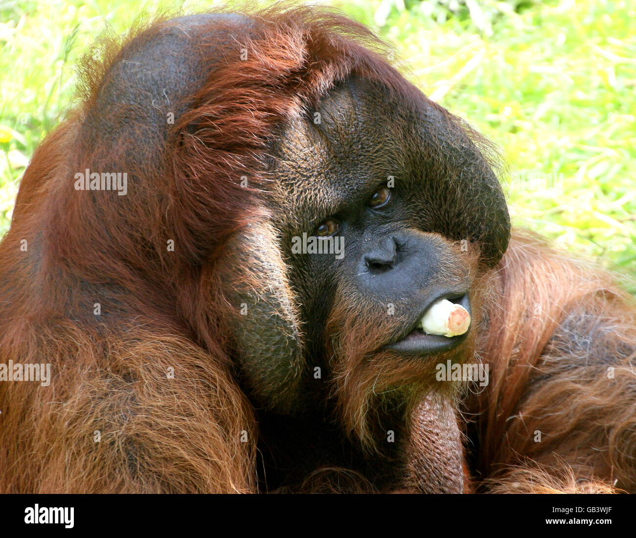 Good-natured  alpha male Bornean orangutan (Pongo pygmaeus) eating Belgian endive - Stock Image