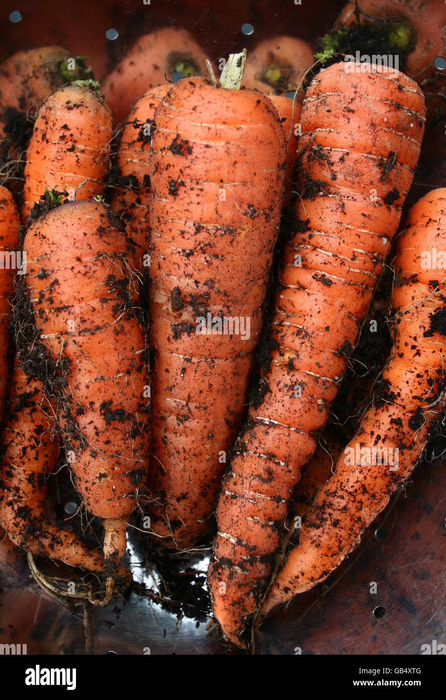 Carrot stock - Stock Image