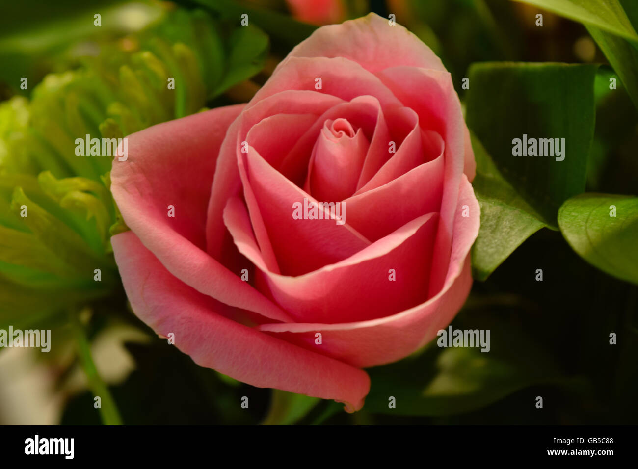A single red rose. Stock Photo