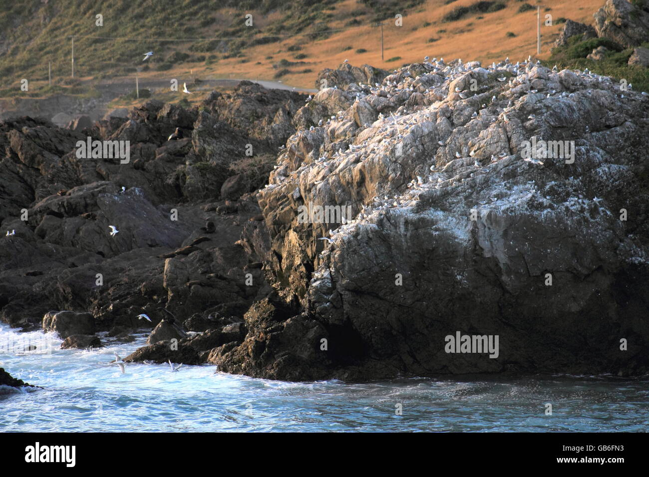 Seagull and Seal Colony - Stock Image