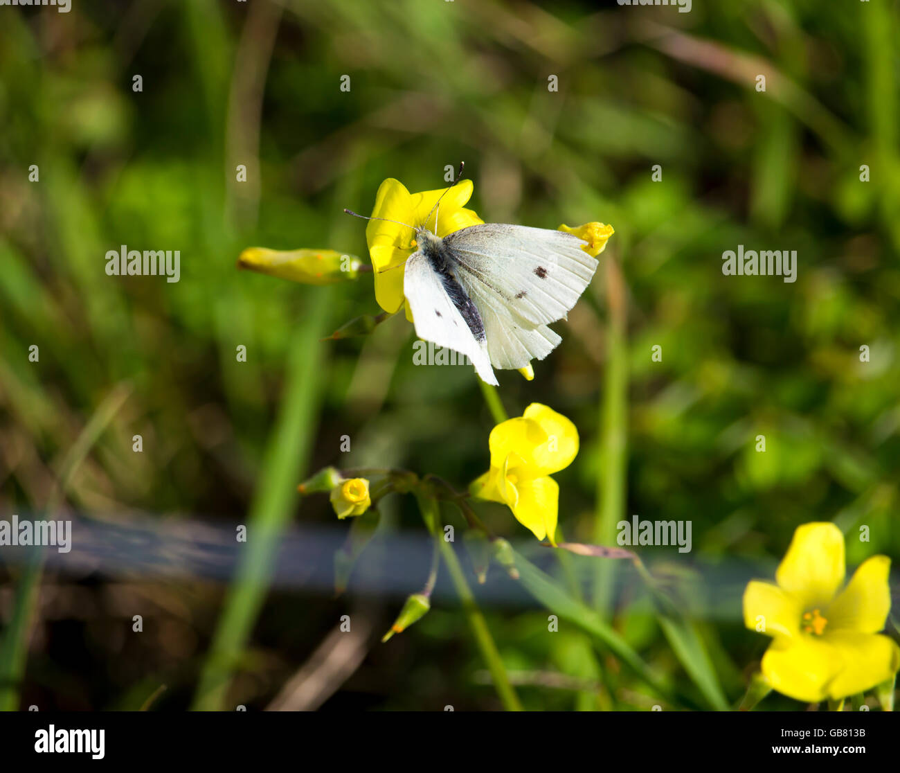 Dainty white Cabbage Moth  is feeding on the pollen from an oxalis weed plant the  yellow flowered  soursob in  - Stock Image