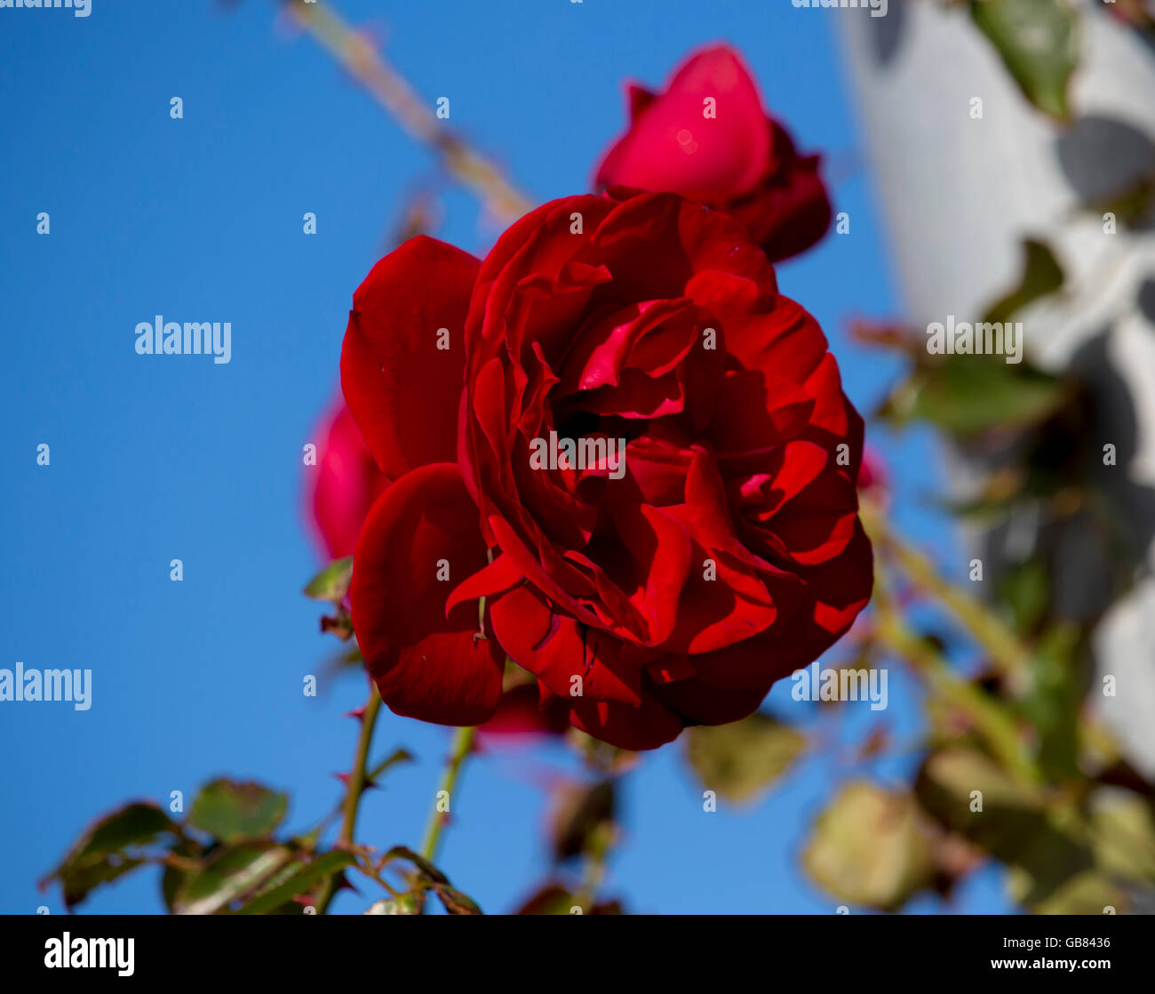 Stunning bright velvety red  hybrid tea  rose blooming  in  late autumn adds fragrance and colour to the urban  - Stock Image