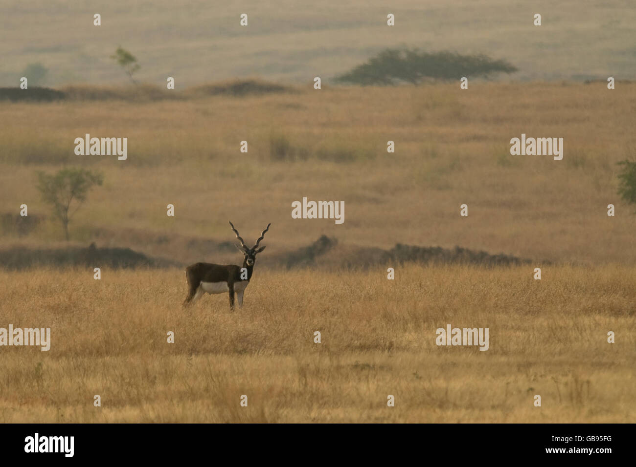 The Blackbucks Antilope cervicapra ,near threatened in IUCN list at the famous Nannaj Bustard and Blackbuck Sanctuary - Stock Image