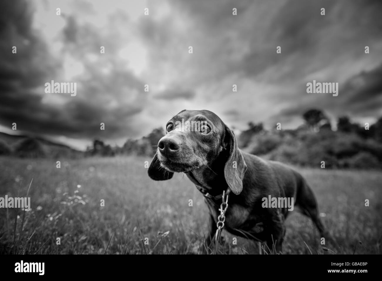purebred dog for a walk in the park looking at the camera - Stock Image