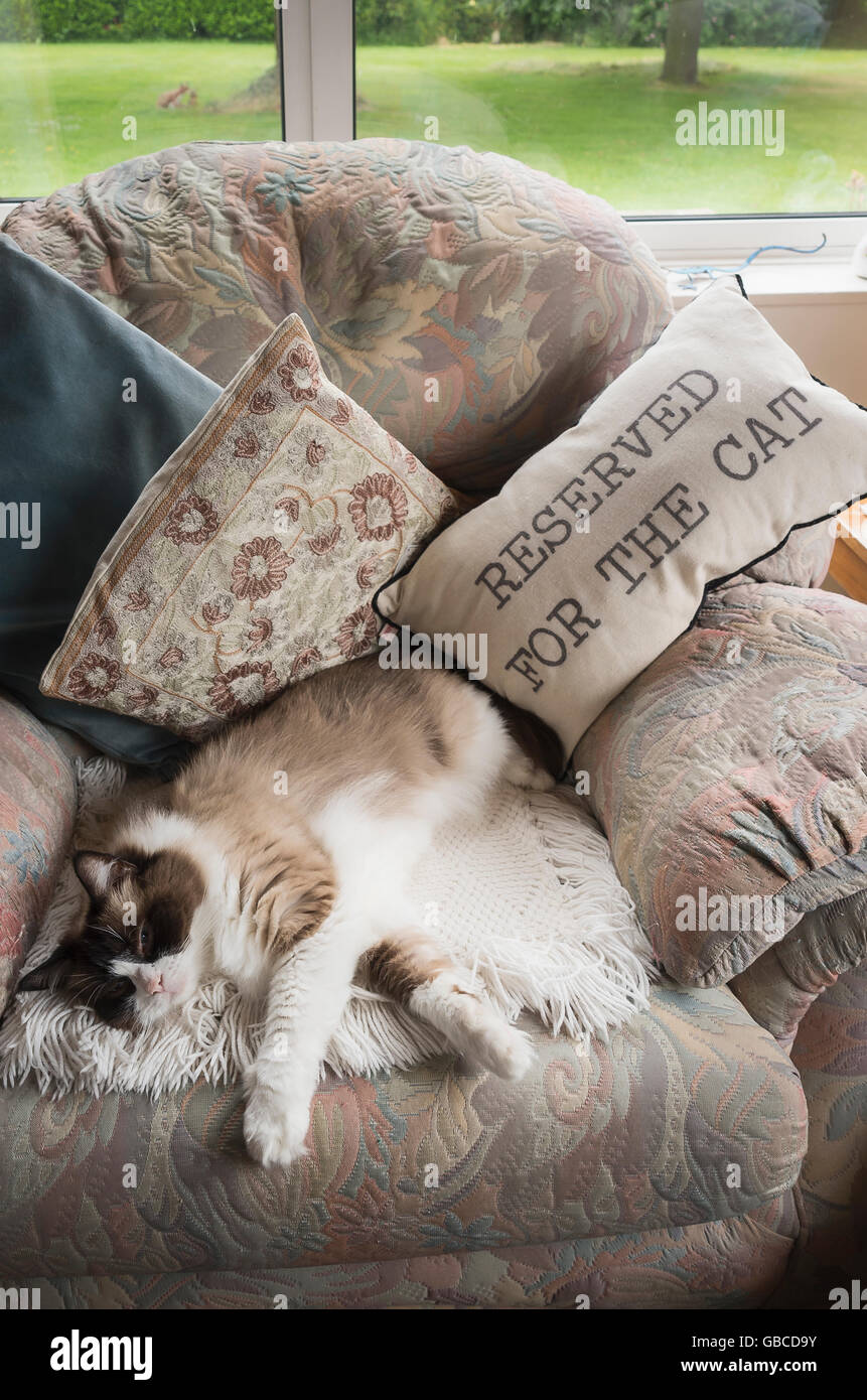 A Ragdoll cat asleep on an armchoir reserved for her - Stock Image