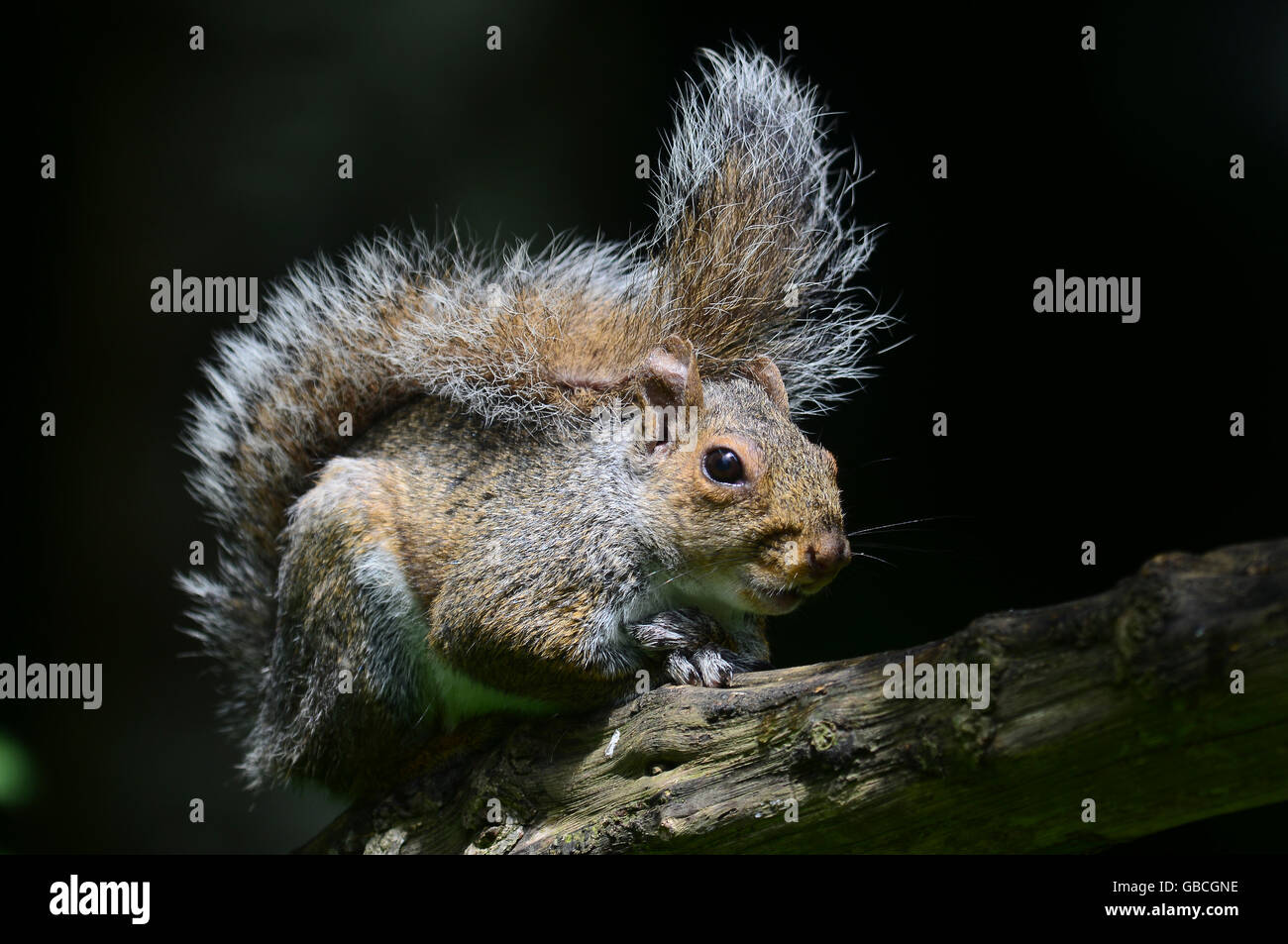 A grey squirrel on a log UK - Stock Image