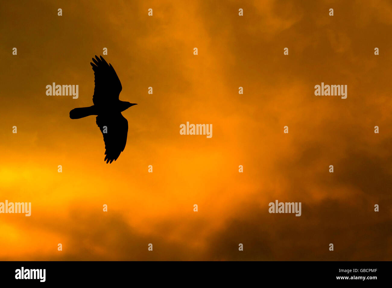 bird  flying - Stock Image