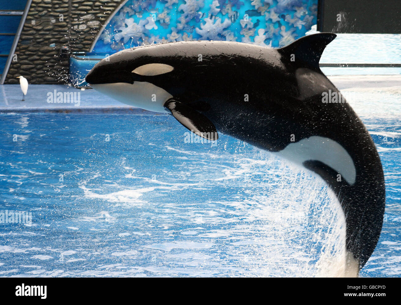 A killer whale jumping out of the water. - Stock Image