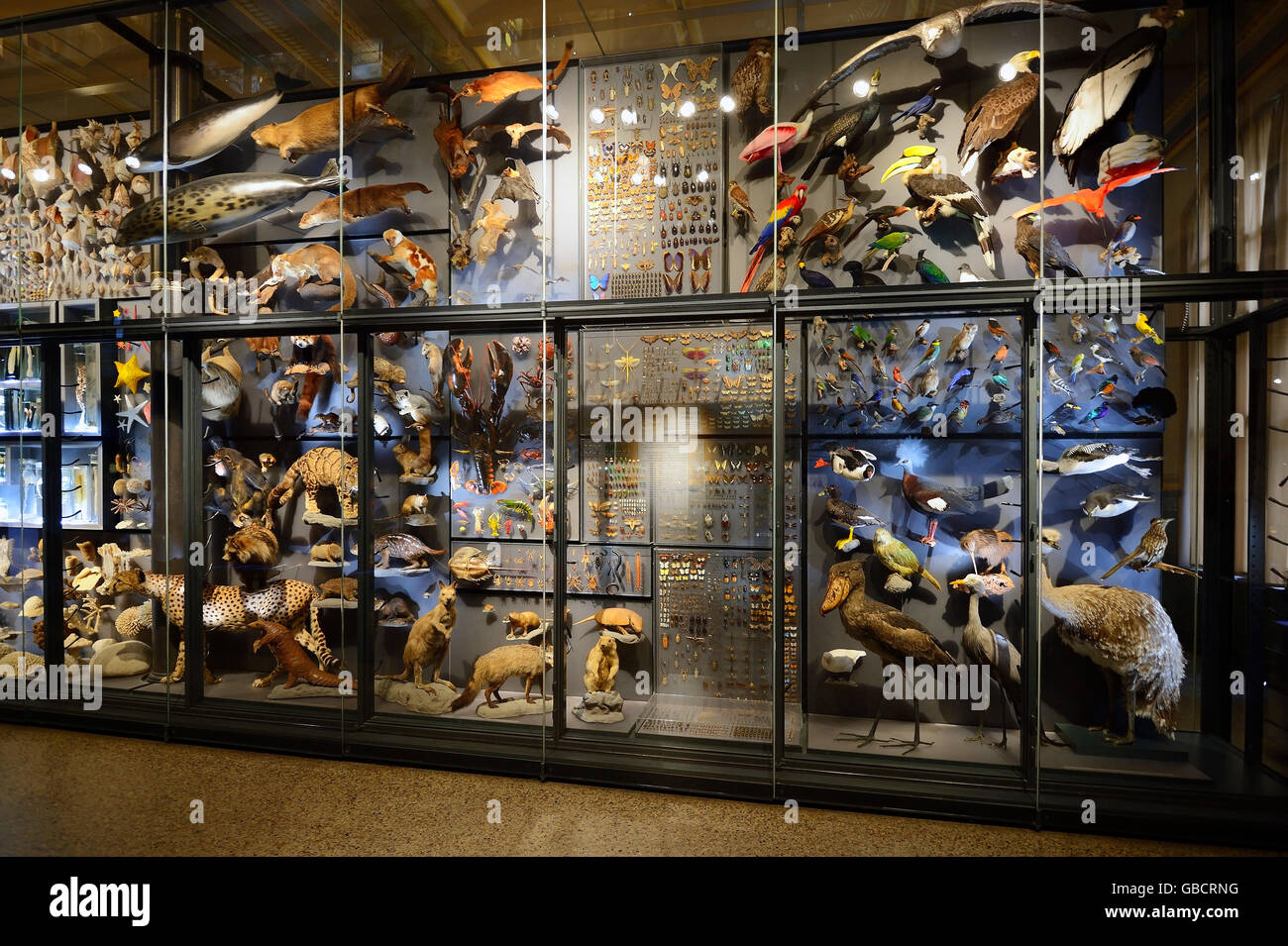 glass cabinets with exhibits, museum of natural history, Berlin, Germany - Stock Image