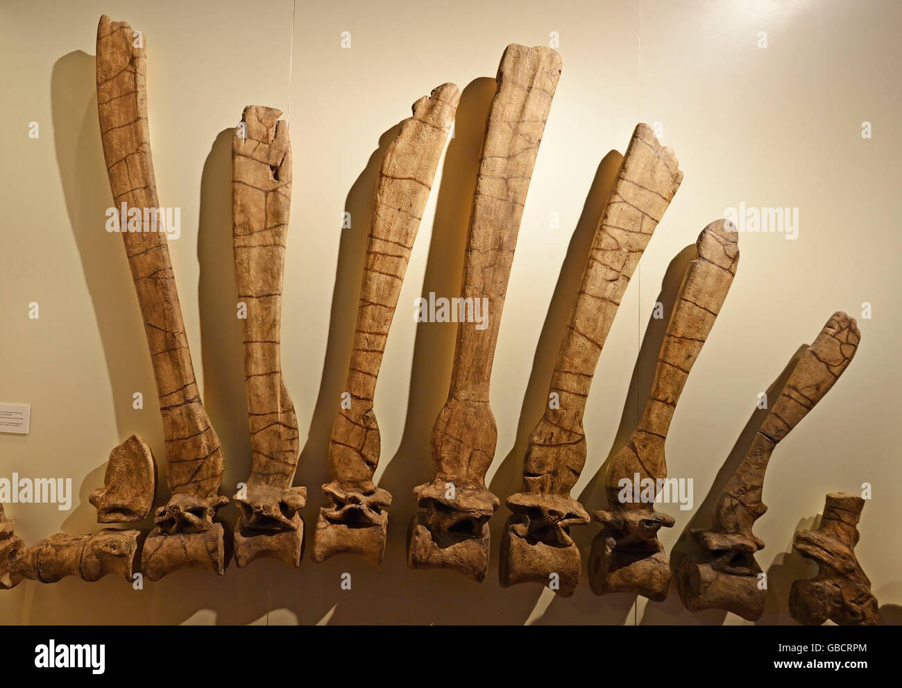 Backbone of Spinosaurus aegyptiacus, museum of natural history, Berlin, Germany - Stock Image