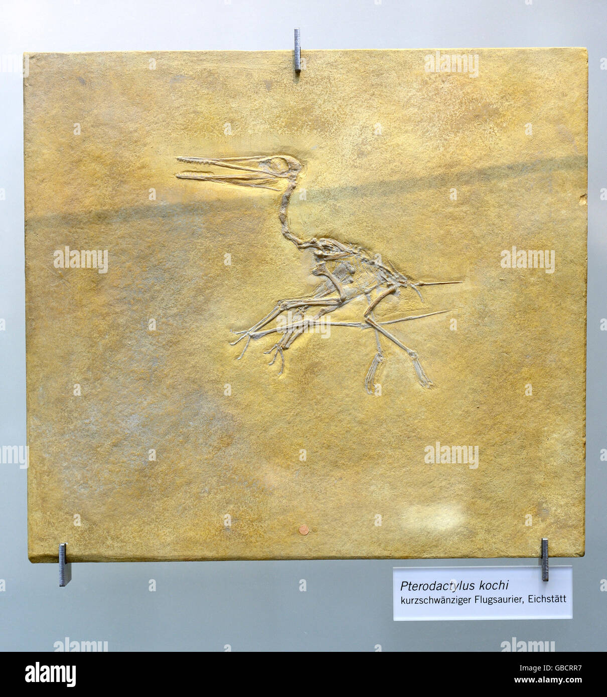 Fossil of Pterodactylus kochi, museum of natural history, Berlin, Germany - Stock Image