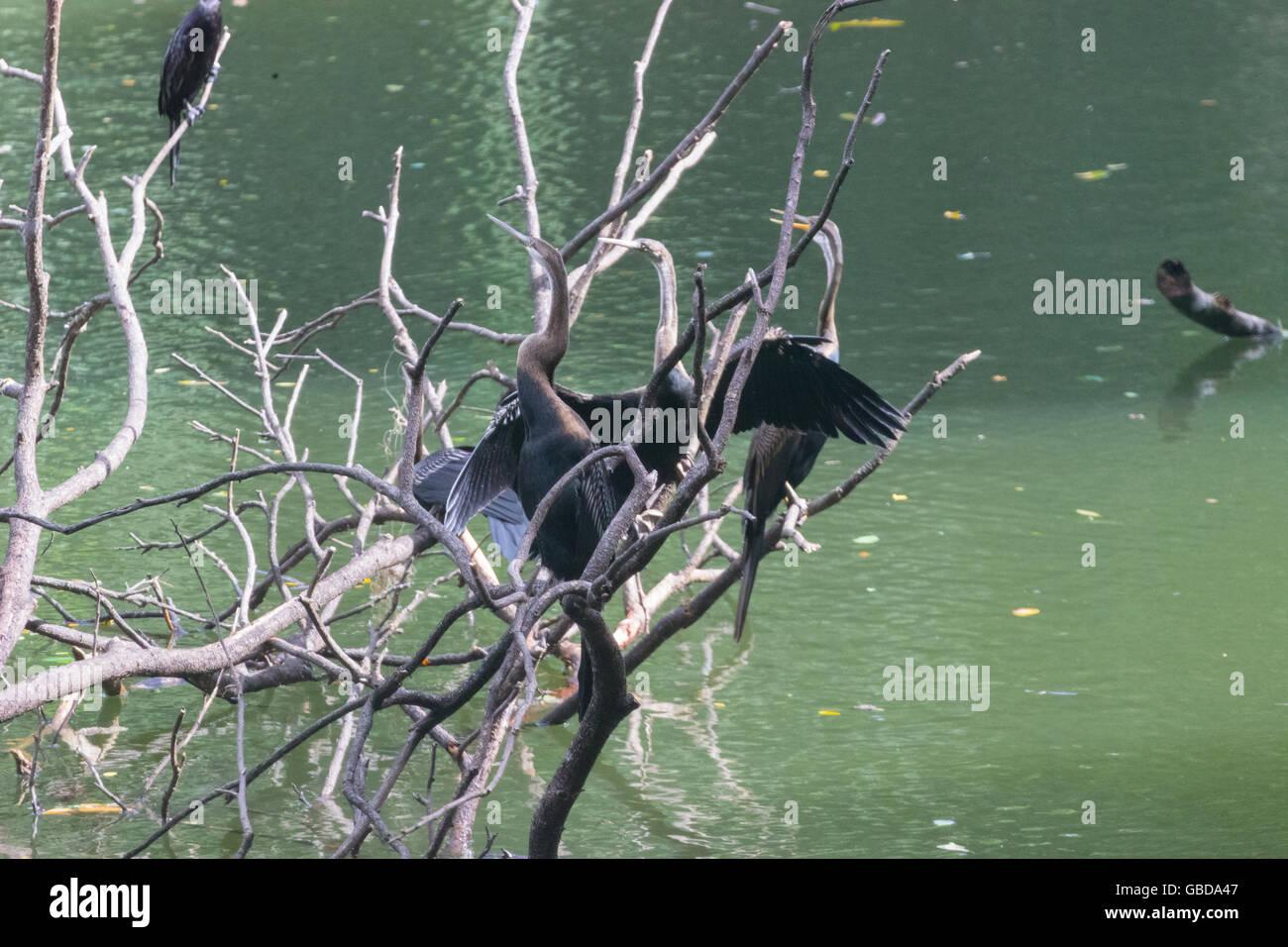 Indian darter (Anhinga melanogaster) - Stock Image