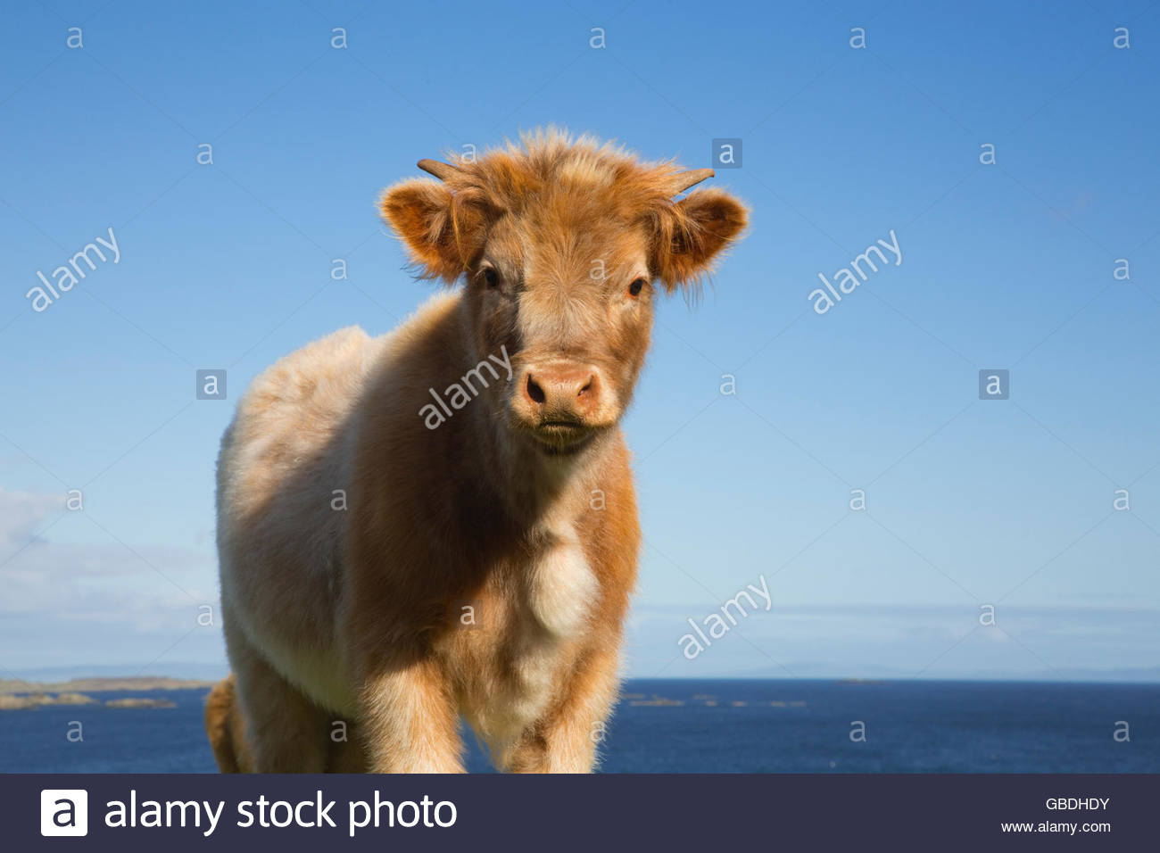 A calf near Port Ellen on the Isle of Islay, Inner Hebrides, Scotland. - Stock Image
