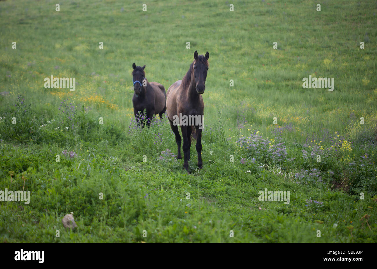 Wild horses used to fertilize an olive orchard in an organic farm in Prado del Rey, Cadiz, Andalusia, Spain, July - Stock Image