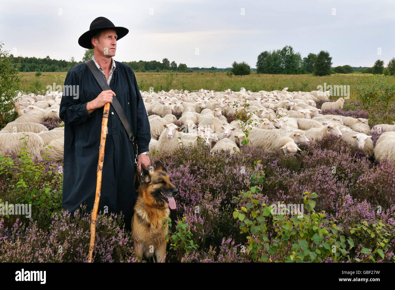 Shepherd with flock of Domestic Sheep and Alsatian, Diepholzer Moorniederung, Lower Saxony, Germany / Moorland Sheep - Stock Image