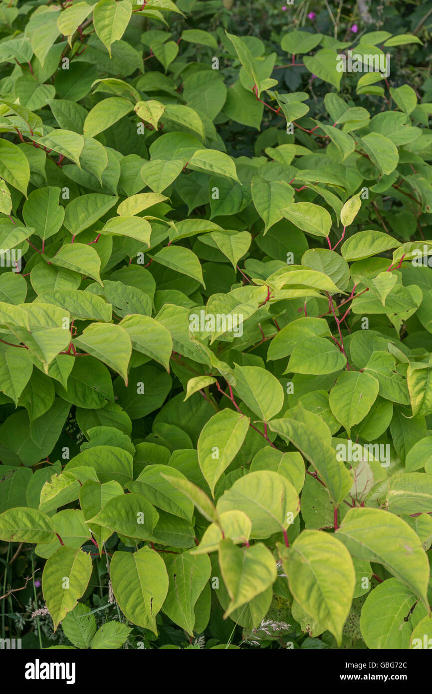 Invasive species concept. Japanese Knotweed [Fallopia japonica] site in a field edge, Cornwall. - Stock Image