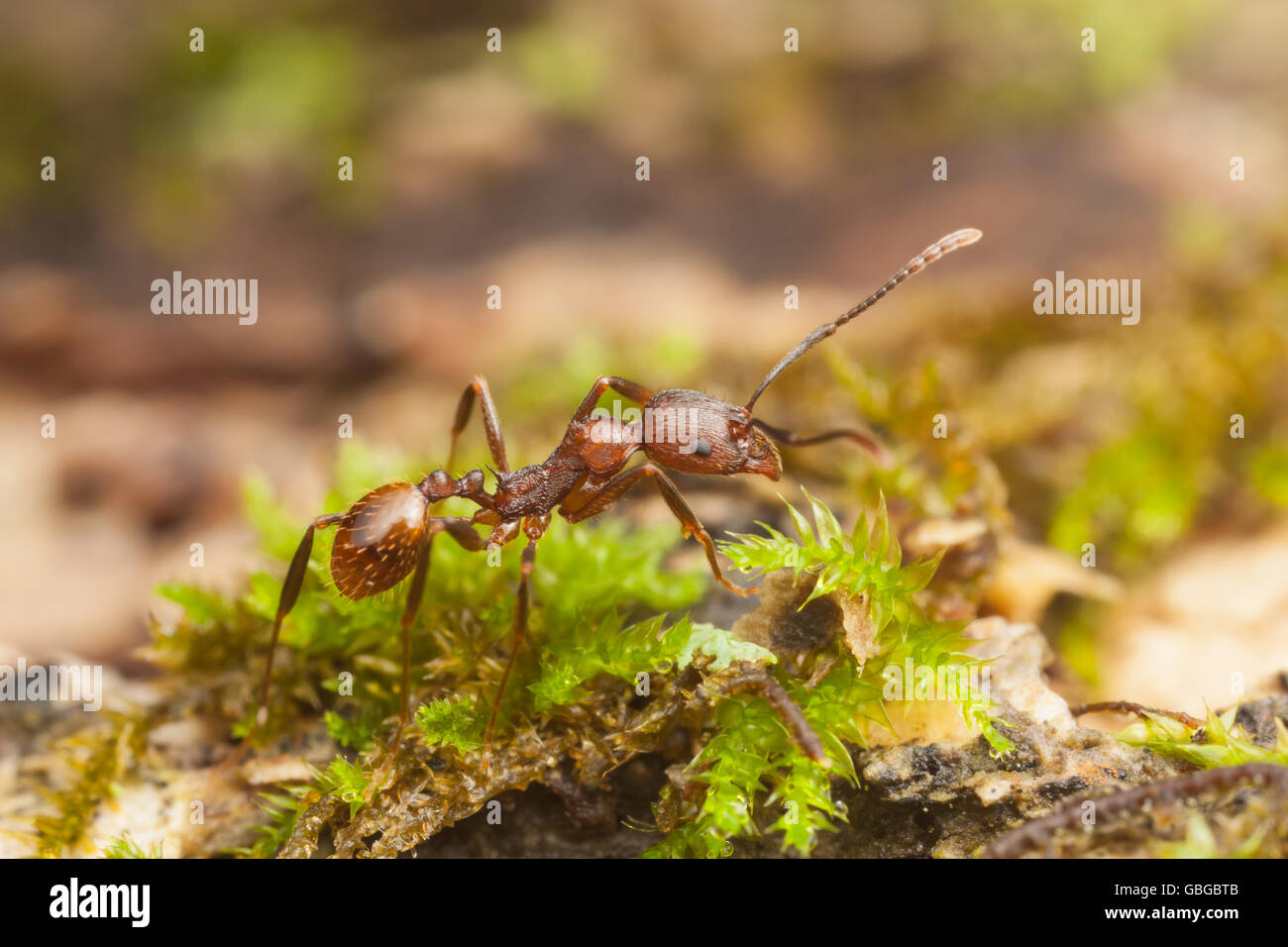 A Spine-waisted Ant (Aphaenogaster fulva) worker explores the surface of a fallen dead tree. - Stock Image