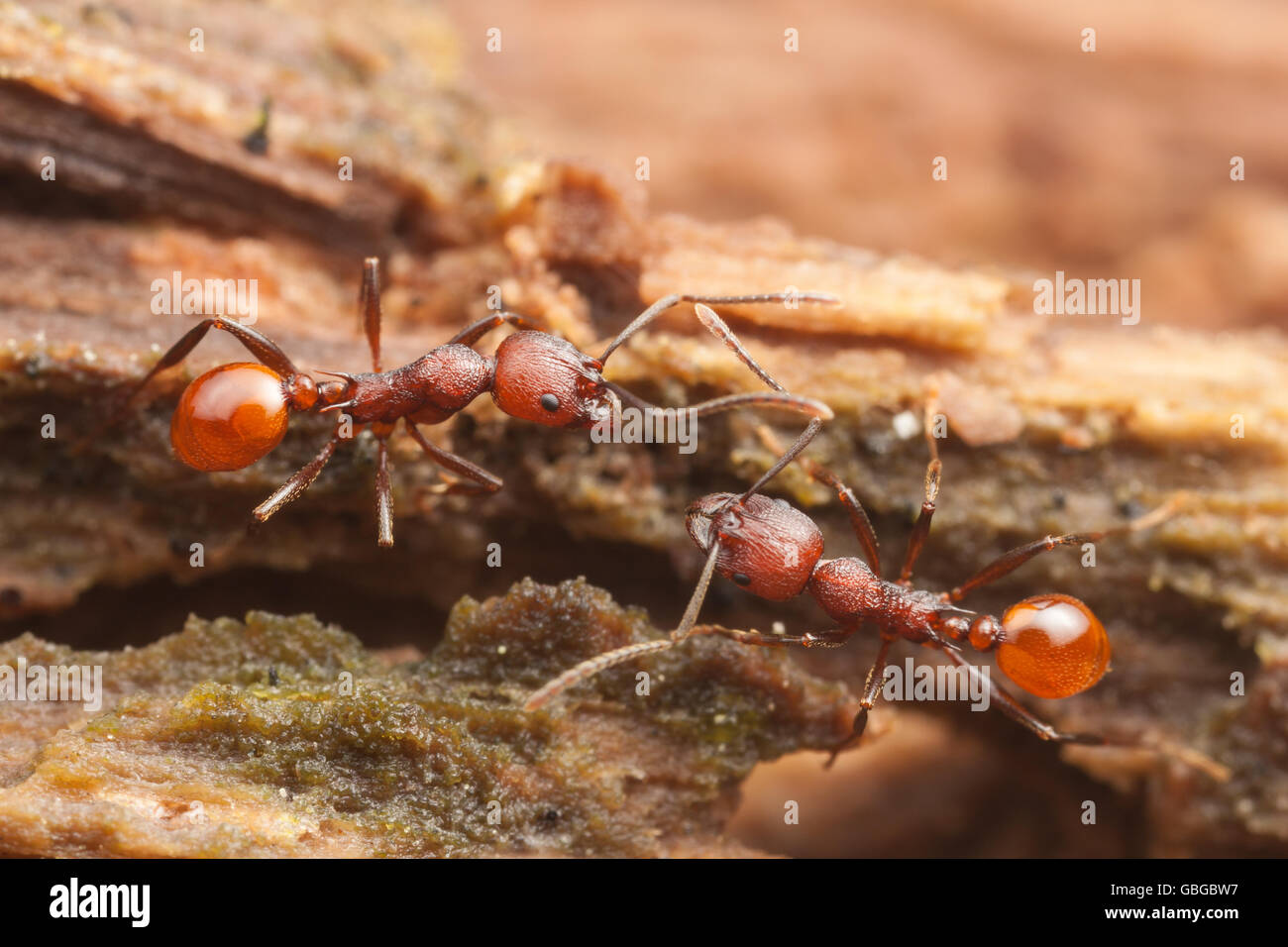 Two Spine-waisted Ant (Aphaenogaster tennesseensis) workers interact while on a foraging trip on a fallen dead tree - Stock Image
