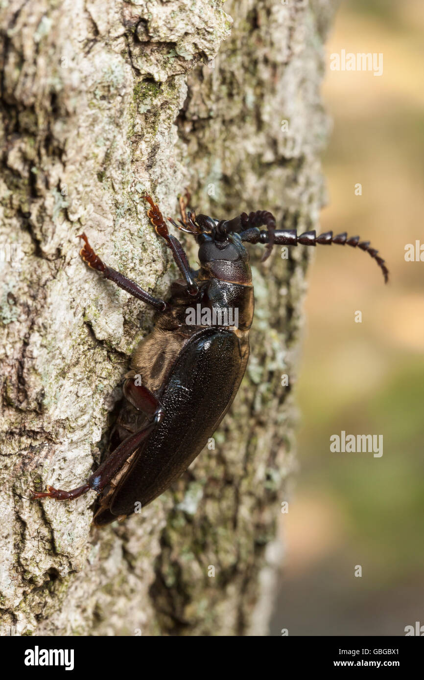 A female Broad-necked Root Borer (Prionus laticollis) clings to the side of a tree. - Stock Image
