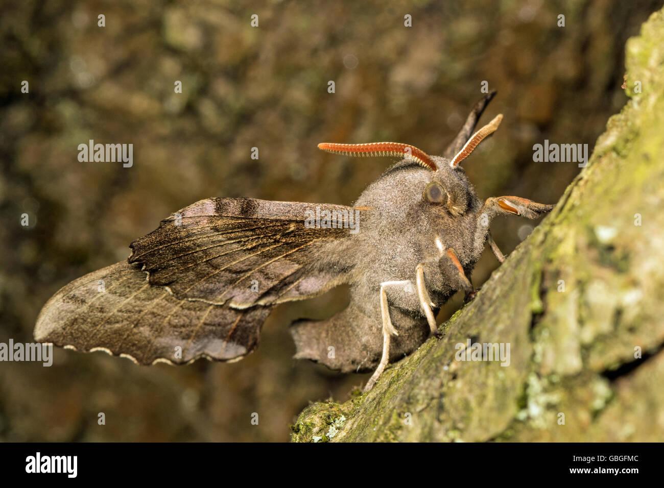 Adult Poplar Hawk-moth (Laothoe populi), Cambridgeshire - Stock Image