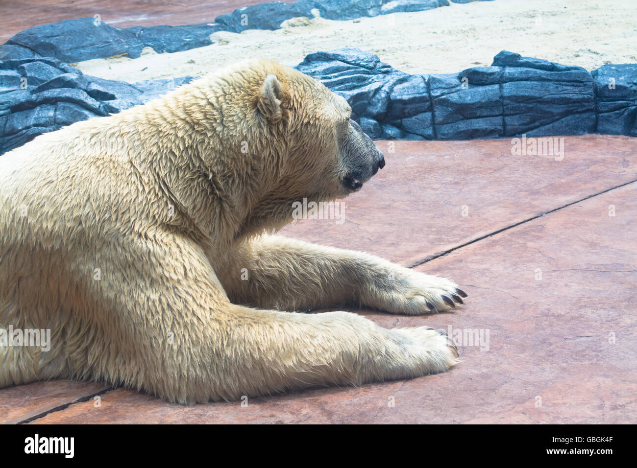 Side View of Relaxing Polar Bear at Zoo - Stock Image