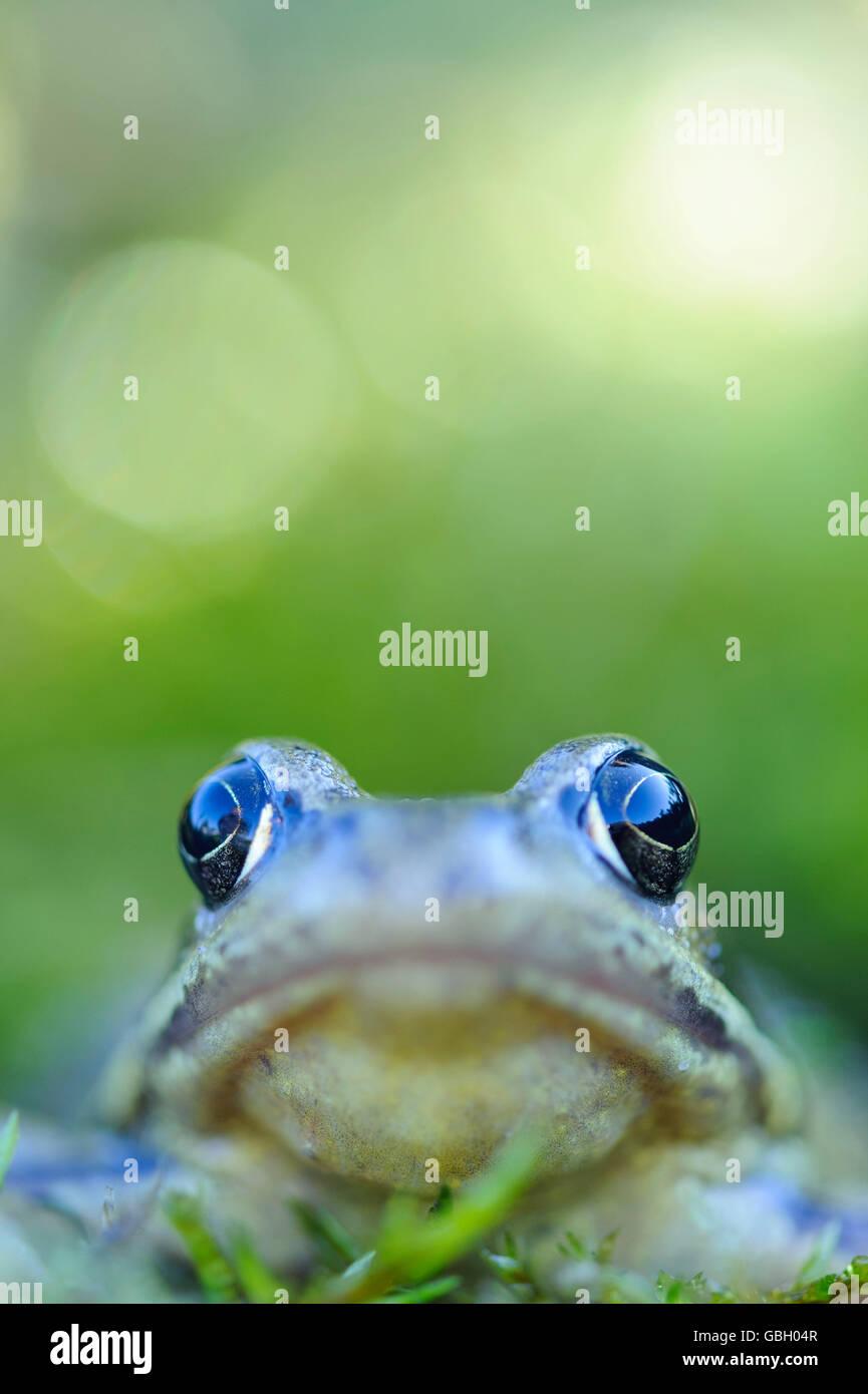 Common European Frog, Lower Saxony, Germany / (Rana temporaria) Stock Photo