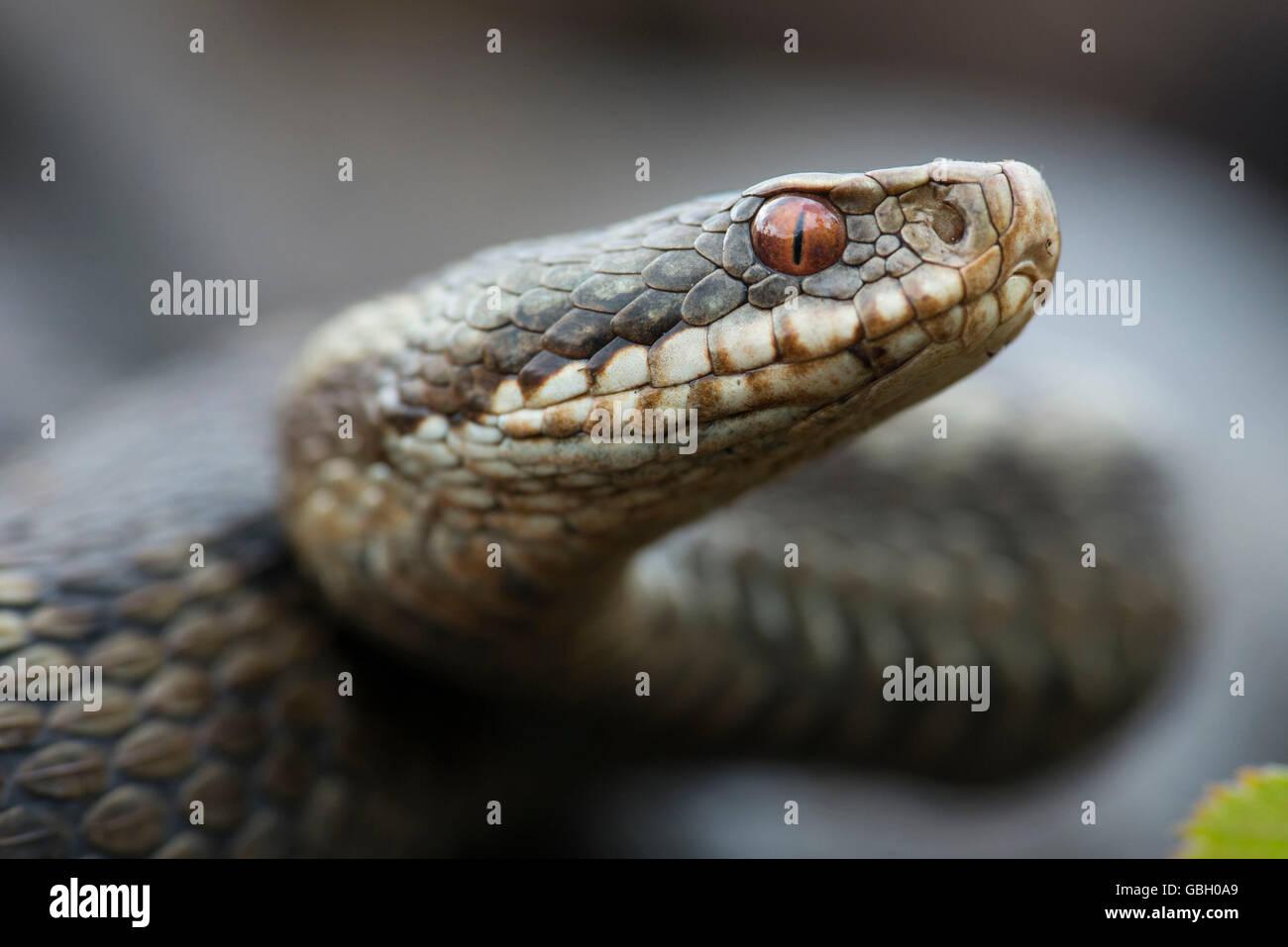 Adder, Lower Saxony, Germany / (Vipera berus) - Stock Image