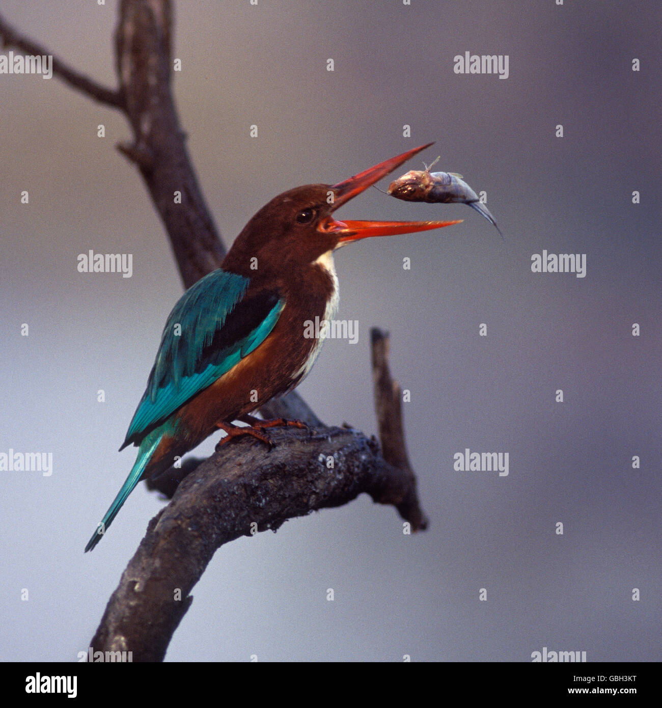 The image of White throated Kingfisher (  Halcyon smyrnensis) tossing fish, Bharatpur, India - Stock Image