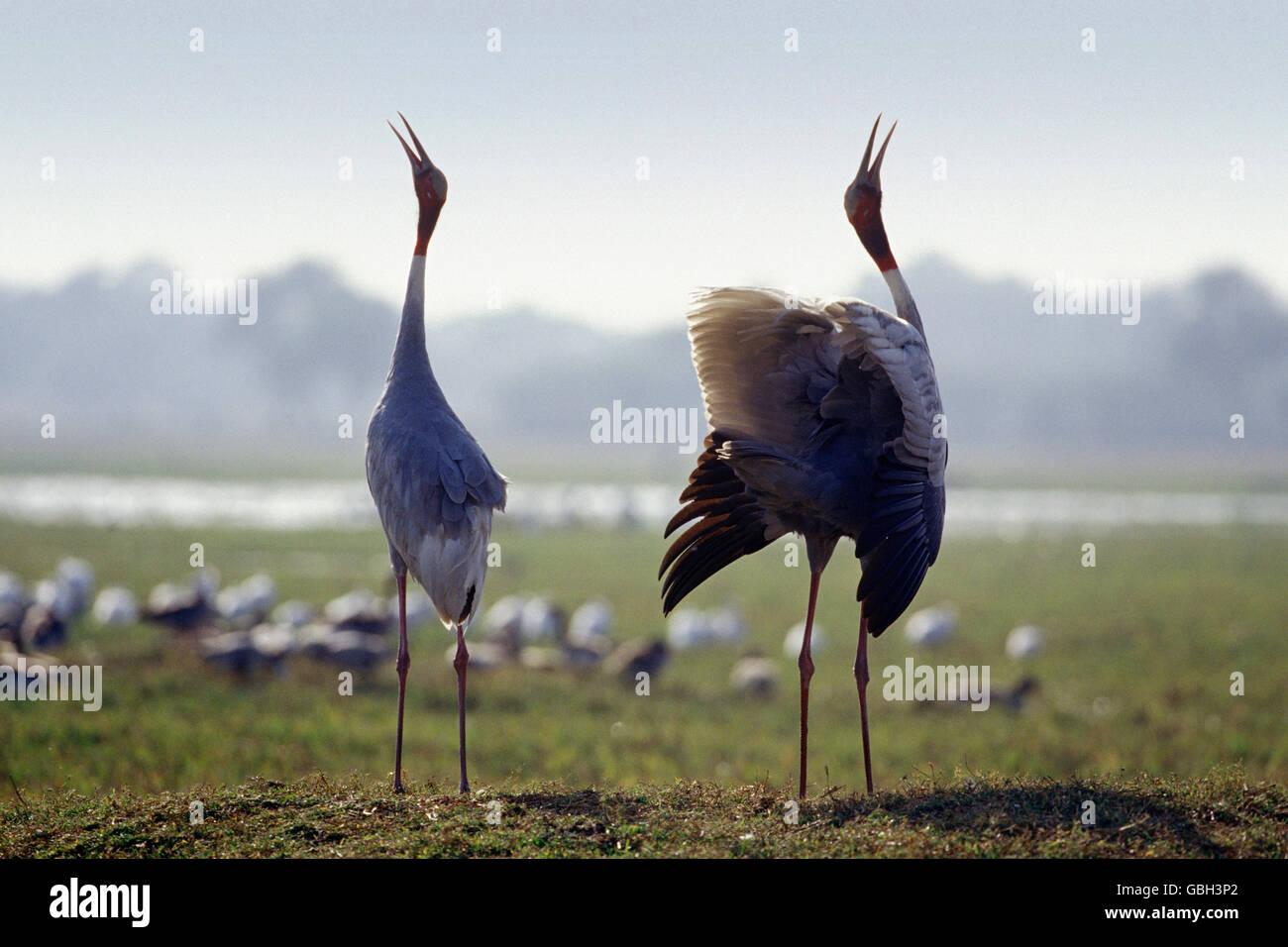 The image of Sarus cranes calling (  Grus antigone )was taken  Keoladev national park, India - Stock Image