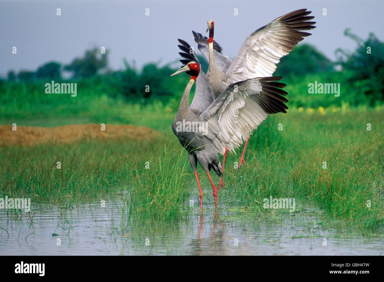 The image of Sarus cranes Dance(  Grus antigone ) Keoladev national park, India - Stock Image