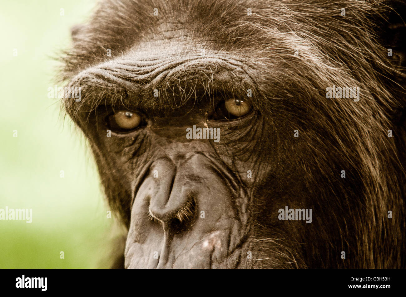 A wise ape in Al Ain Zoo, - Stock Image