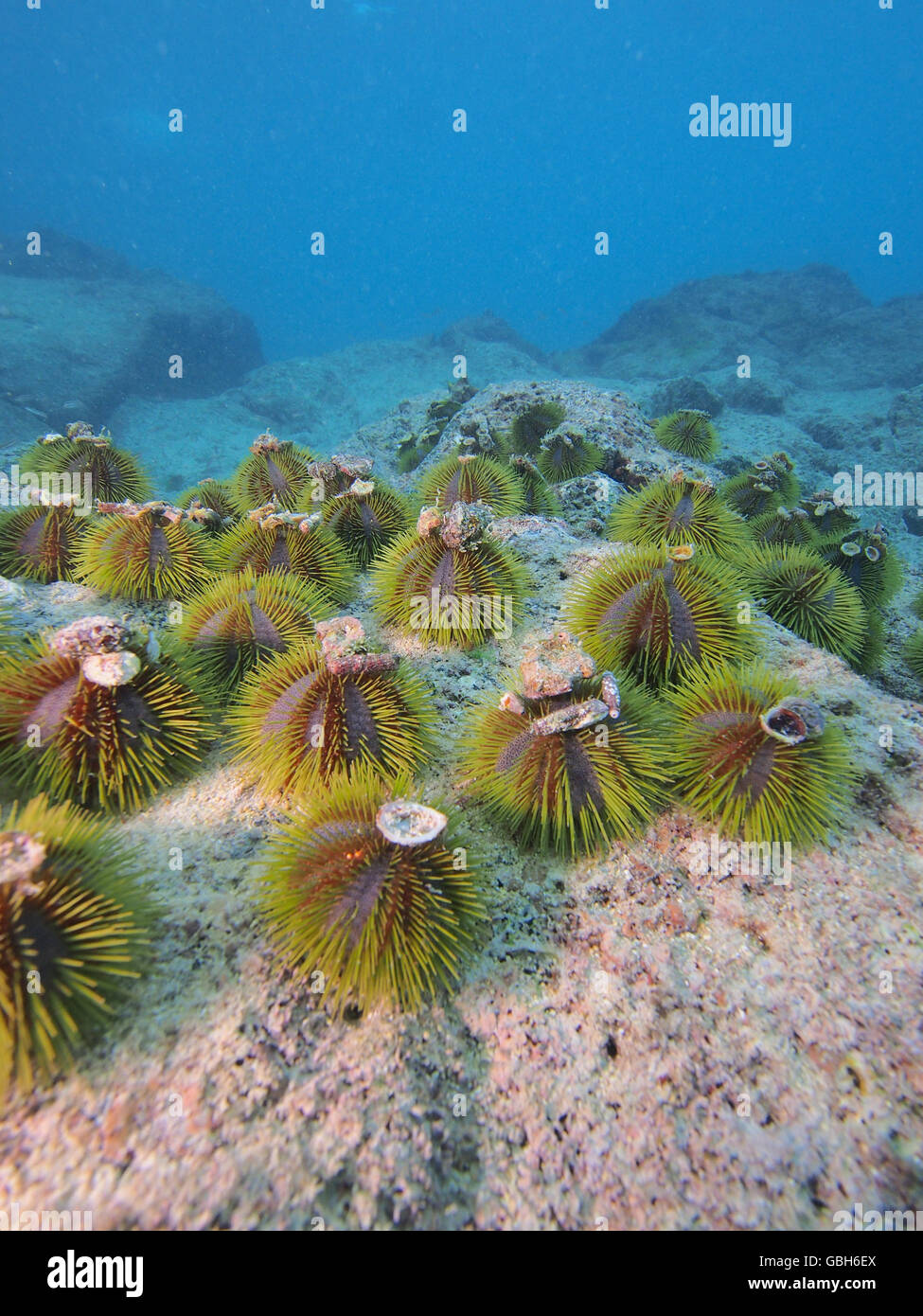 Green sea urchin aggregation in the  Galapagos - Stock Image