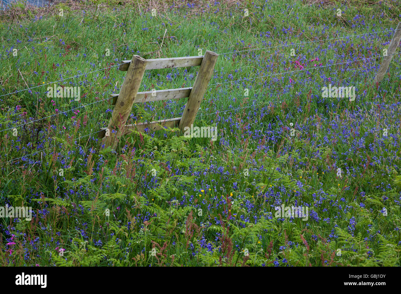 Barb wire fence in a bluebell field - Stock Image