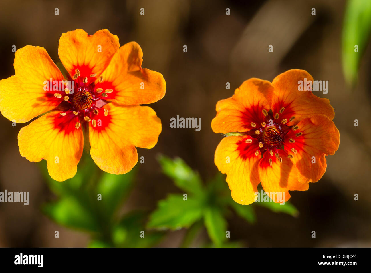 Two flowers of the dwarf, spreading, summer flowering perennial, Potentilla x tonguei - Stock Image