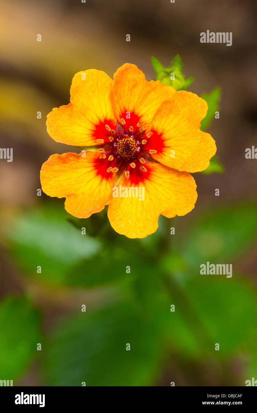Single flower of the dwarf, spreading, summer flowering perennial, Potentilla x tonguei - Stock Image