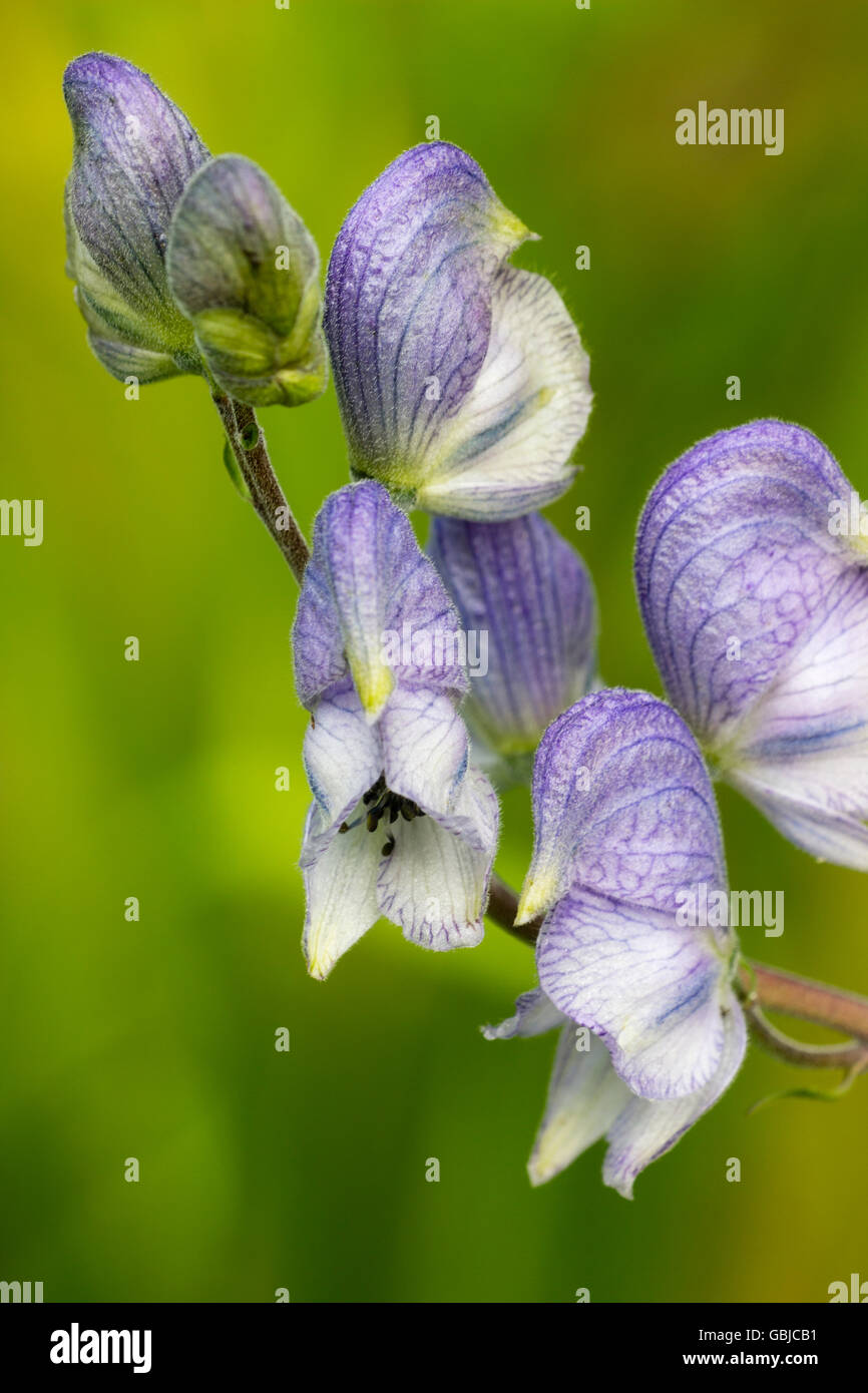 Close up of the delicate, pale blue hooded flowers of the perennial monkshood, Aconitum 'Stainless Steel' - Stock Image