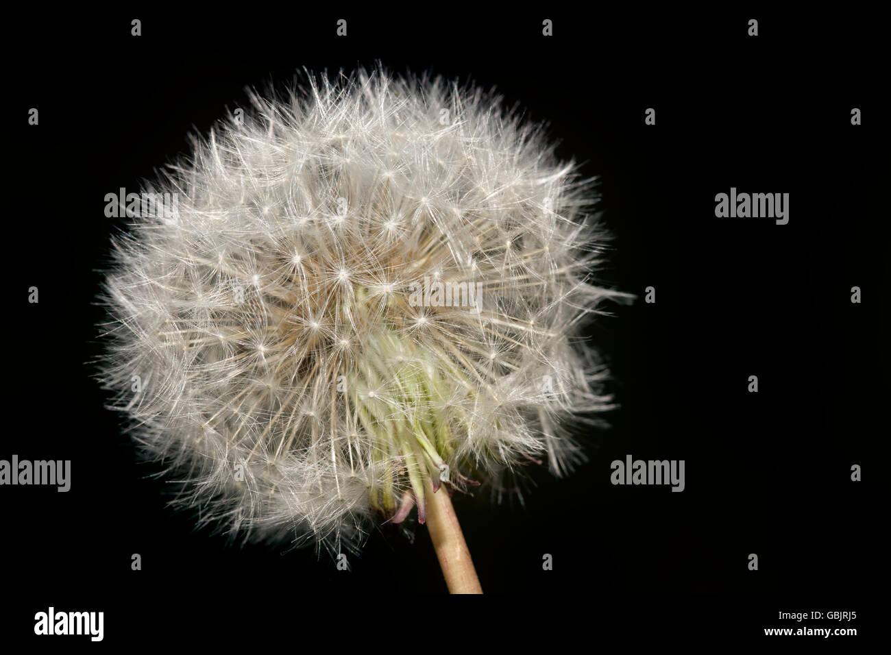 dandelion plant blowball dandelion blow ball fragility concept