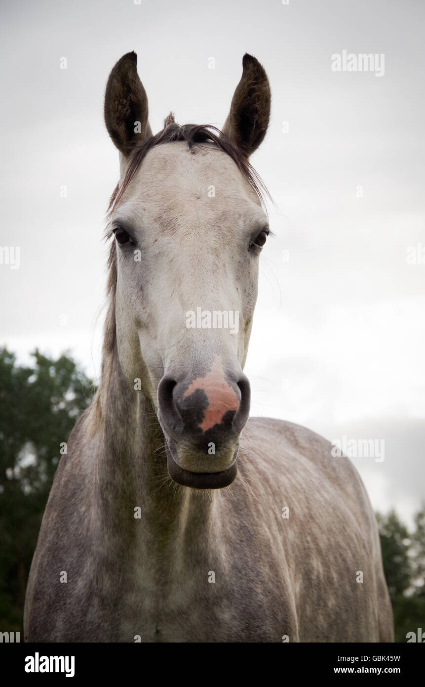 Young dapple gray mare. The pink part of the muzzle is sensitive to sunlight, and may need protection from the sun. - Stock Image
