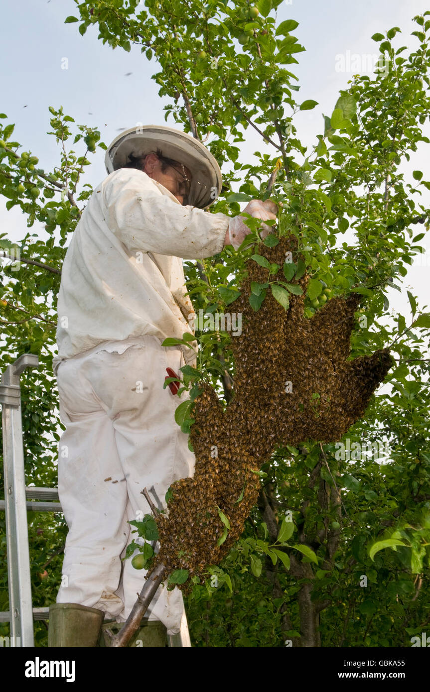 Beekeeper collecting a wild swarm of bees from a tree - Stock Image